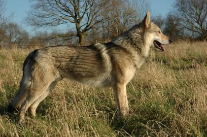 Wolfshunde